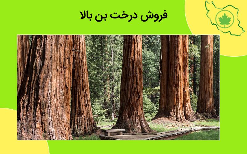 فروش درخت بن بالا