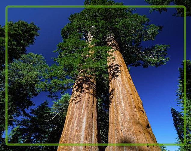 درخت بن بالا